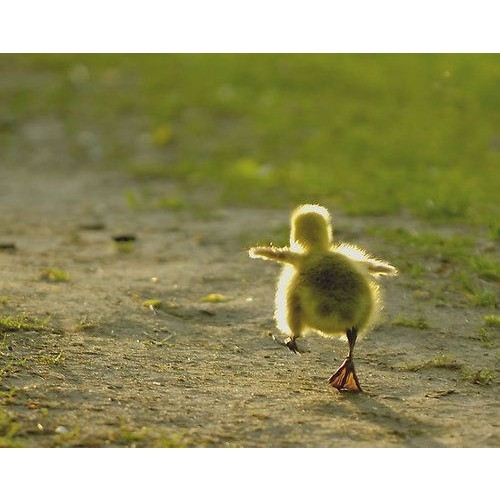 baby-duck-walking