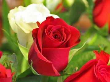 pictures-valentine-roses