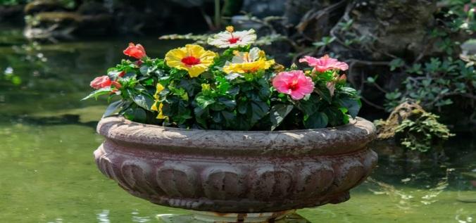 Hibiscus-Plant
